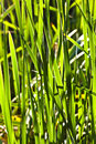 Green reed Royalty Free Stock Photo