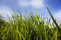 Green reed on the lake with blue sky Royalty Free Stock Photo