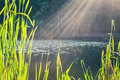 Green reed on the lake and sun rays Royalty Free Stock Photo