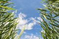 Green reeds against blue sky photographed from below a with white clouds Royalty Free Stock Photos
