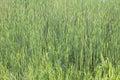Green Reeds Background
