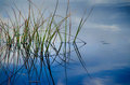 Green reeds in blue water
