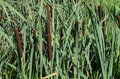 Green reeds brown bulrush cattail Royalty Free Stock Photo