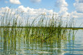 The green reeds in the lake. Royalty Free Stock Photo