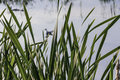 Green reeds on the pond Royalty Free Stock Photo