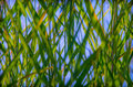 Green reeds towards a blue sky Stock Photos