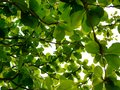 Green refreshing branches with leaves of Indian Almond tree Terminalia Catappa against bright afternoon sky Royalty Free Stock Photo