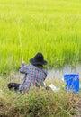 Green rice angler. Royalty Free Stock Photo