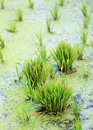 Green rice cultivation field with paddy seedling Stock Photos