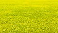 Green rice field for background Stock Photo