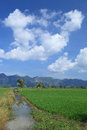 Green rice field and coconut tree Stock Photo