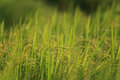 Green rice field at countryside of thailand Royalty Free Stock Photography
