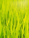 Green rice field farm authentic shot in THAILAND