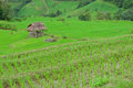 Green rice field in mountain (focus rice field) Stock Photos