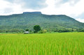 Green Rice Field  Of Nature
