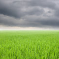 Green rice field and rainclouds in thailand Royalty Free Stock Photo