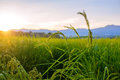 Green rice fields in blue sky and clouds Royalty Free Stock Photo