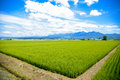 Green rice fields in japan Royalty Free Stock Photography