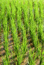 Green rice fields in Thailand Royalty Free Stock Photo