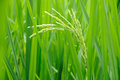 Green rice grain in the field Stock Photo