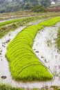 Green rice growing on farm baby seedlings of sprout from the watery fields in nujiang valley yunnan province china Stock Photography