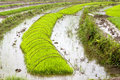 Green rice growing on farm baby seedlings of sprout from the watery fields in nujiang valley yunnan province china Royalty Free Stock Photography