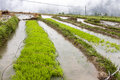 Green rice growing on farm baby seedlings of sprout from the watery fields in nujiang valley yunnan province china Stock Image