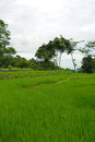 Green rice paddy field Royalty Free Stock Images