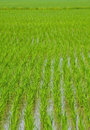 Green rice , plant Royalty Free Stock Photos