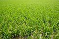 Green rice plants in irrigation spring fields Royalty Free Stock Photo