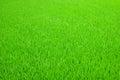 Green rice seedlings on farm Stock Photos