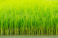 Green Rice Shoots Royalty Free Stock Photo