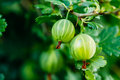 Green ripe gooseberry in fruit garden gooseberries growing organic berries closeup on a branch of bush the Royalty Free Stock Photography