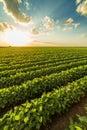 Green ripening soybean field Royalty Free Stock Photo