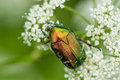 Green Rose Chafer, Cetonia Aurata, feeding Bishop`s weed, Macro. Shallow DOF.