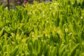 Green rosette leaves of grass at dawn. Herbal natural texture.