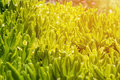 Green rosette of leaves of grass in the sunlight. Herbal natural texture. A horizontal frame.