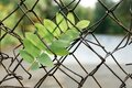 Green rowan leaf stuck in the fall in the fence net Royalty Free Stock Photo