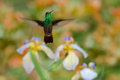 Green Rufous-tailed Hummingbird, Amazilia tzacatl, flying next to beautiful flower, nice flowered orange green background, Costa R Royalty Free Stock Photo