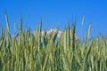 Green rye ears Royalty Free Stock Photo