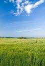 Green rye field Royalty Free Stock Photo
