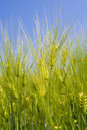 Green rye over blue sky Royalty Free Stock Photo
