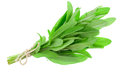 Green sage plant isolated on white background Royalty Free Stock Photos