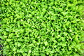 Green salad background detail on a backgroud full of and fresh Royalty Free Stock Photo