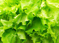 Green salad leaf lettuce close up photo fresh vegetables Royalty Free Stock Photos