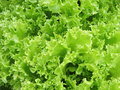 Green salads in garden can use as background Royalty Free Stock Photos