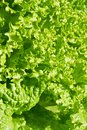 Green Salat Stock Images