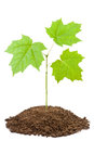 Green sapling of young maple Royalty Free Stock Photo