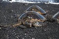 Green Sea Turtle on black sand beach Stock Photography