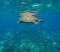 Green sea turtle close photo. Royalty Free Stock Photo